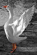 Wing Photos - Spread Your Wings B and W by Lisa  Phillips