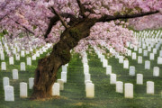 Headstones Posters - Spring Arives At Arlington National Cemetery Poster by Susan Candelario