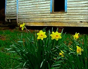 Daffodyls Metal Prints - Spring at the Old Home Place Metal Print by Julie Dant