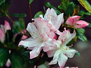 Blooming Bushes Prints - Spring Azalea Print by Larry Bishop