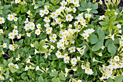 Primroses Prints - Spring background Print by Aleksandr Volkov