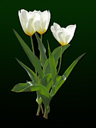 Tulip Art - Spring - Backlit White Tulips by Susan Savad