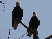 Daniel Henning Metal Prints - Spring Bald Eagles 2013 IV Metal Print by Daniel Henning
