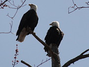 Daniel Henning Metal Prints - Spring Bald Eagles 2013 V Metal Print by Daniel Henning