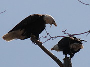 Daniel Henning Metal Prints - Spring Bald Eagles 2013 VIII Metal Print by Daniel Henning