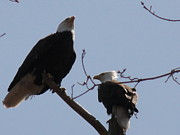 Daniel Henning Metal Prints - Spring Bald Eagles 2013 X Metal Print by Daniel Henning