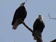 Daniel Henning Metal Prints - Spring Bald Eagles 2013 XII Metal Print by Daniel Henning