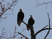 Daniel Henning Metal Prints - Spring Bald Eagles 2013 XVI Metal Print by Daniel Henning