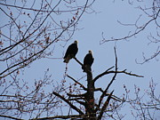 Daniel Henning Metal Prints - Spring Bald Eagles 2013 XVIII Metal Print by Daniel Henning