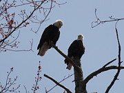 Daniel Henning Metal Prints - Spring Bald Eagles 2013 XX Metal Print by Daniel Henning
