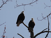 Daniel Henning Metal Prints - Spring Bald Eagles 2013 XXI Metal Print by Daniel Henning