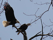 Daniel Henning Metal Prints - Spring Bald Eagles 2013 XXII Metal Print by Daniel Henning
