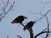Daniel Henning Metal Prints - Spring Bald Eagles 2013 XXIII Metal Print by Daniel Henning