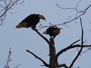Daniel Henning Metal Prints - Spring Bald Eagles 2013 XXIV Metal Print by Daniel Henning