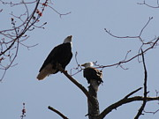 Daniel Henning Metal Prints - Spring Bald Eagles 2013 XXV Metal Print by Daniel Henning