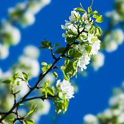 March Photos - Spring Blossoms 1 - Square by Alexander Senin