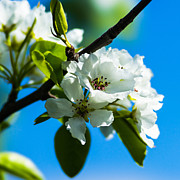 March Prints - Spring Blossoms 4 - Square Print by Alexander Senin
