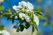 March Photos - Spring Blossoms 7 by Alexander Senin