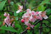 Crab Apple Photos - Spring Blossoms West Virginia by Thomas R Fletcher