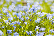 Early Flowers Posters - Spring blue flowers glory-of-the-snow Poster by Elena Elisseeva