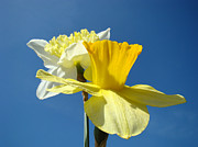 Daffodils Posters - Spring Blue Sky Yellow Daffodil Flowers art prints Poster by Baslee Troutman Floral Art Prints