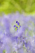 Horticulture Digital Art Prints - Spring Bluebells Print by Tim Gainey