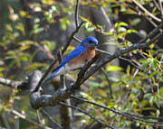 Marykzeman Photos - Spring bluebird by Mary Zeman