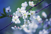 Cherry Art Prints - Spring Cherry Tree Branch Print by Jenny Rainbow