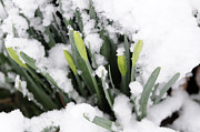 Winter Storm Photos - Spring Chill by Wanda Brandon