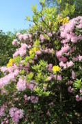 Azalea Bush Photo Prints - Spring Color Mix Print by Christiane Schulze