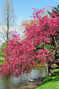 Captive Images Photography Posters - Spring Crabapple Poster by John Kiss