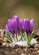 Raining Posters - Spring Crocus Poster by Mircea Costina Photography