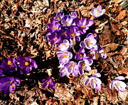 Kate Gallagher - Spring Crocuses and Fall...