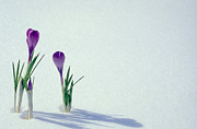 Winter Photos Prints - Spring Crocuses In Snow  Print by Anonymous