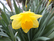 Ebsq Photo Prints - Spring Daffodil Print by Kimmary I MacLean