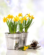 Potting Posters - Spring Daffodils Poster by Christopher and Amanda Elwell