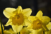 Frank Larkin - Spring Daffodils