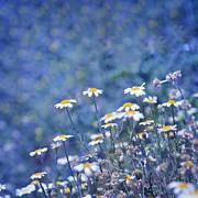 Blue Flowers Photos - Spring daisies by Guido Montanes Castillo