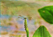 Green.wings Prints - Spring Damsel Print by Deborah Benoit