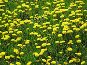 Field Of Dandelions Prints - Spring Dandelions Print by Mary Bedy