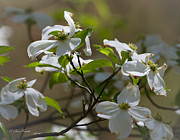 Tennessee Posters Originals - Spring Dogwoods by Sue Karski