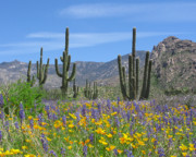 Saguaro Posters - Spring flowers in the desert Poster by Elvira Butler