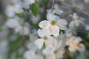 Dogwood Blossom Photos - Spring Focus by Kay Pickens