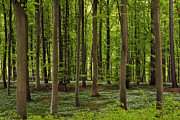 Forest Floor Photos - Spring Forest by Inge Riis McDonald