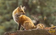 Mircea Costina Photography - Spring Fox