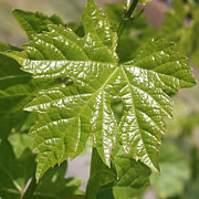 Grape Leaves Photo Posters - Spring Grape Leaf Poster by Carol Groenen