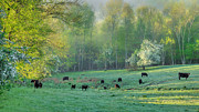 Black Angus Metal Prints - Spring Grazing Metal Print by Bill  Wakeley