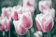 Tulips Art - Spring in Love by Angela Doelling AD DESIGN Photo and PhotoArt