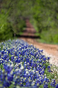 Bluebonnet Wildflowers Posters - Spring in the Country Poster by Lisa Holmgreen