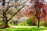 Pink Blossom Trees Posters - Spring in the Park Poster by Colin and Linda McKie